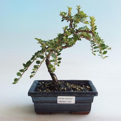 Outdoor bonsai-Cotoneaster horizontalis-Rock Garden - 1