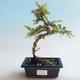 Outdoor bonsai-Cotoneaster horizontalis-Rock Garden - 1/2
