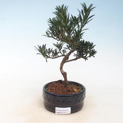 Kryty bonsai - Podocarpus - Kamień tys - 1