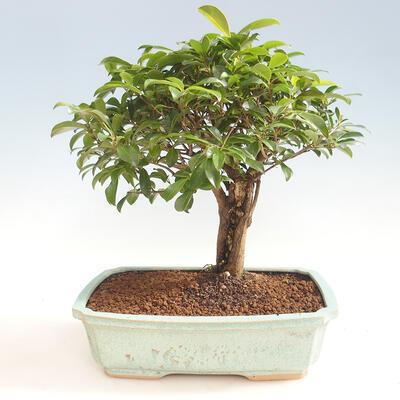 Kryty Bonsai - Wiśnia Australijska - Eugenia uniflora - 1