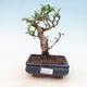 Kryty bonsai - Carmona macrophylla - Tea fuki - 1/5