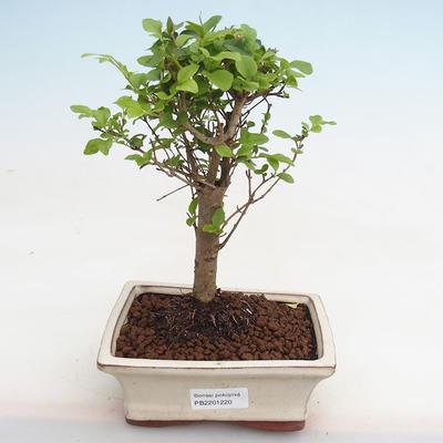 Kryty bonsai - kimono Ficus - ficus mały liść PB2191220 - 1
