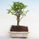 Kryty bonsai - kimono Ficus - ficus mały liść PB2191220 - 1/6