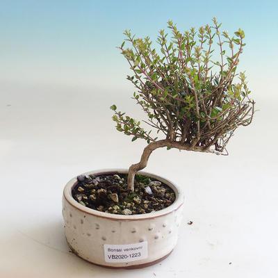 Outdoor bonsai-Lonicera nitida-wiciokrzew - 1