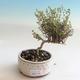 Outdoor bonsai-Lonicera nitida-wiciokrzew - 1/2