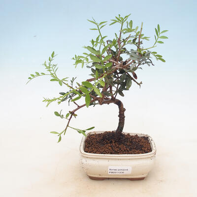 Pokojowe pistacje bonsai - 1