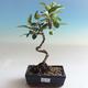 Outdoor bonsai - Malus halliana - jabłoń o małych owocach - 1/5