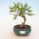 Pokój bonsai-Punica granatum nana-Granat - 1/3
