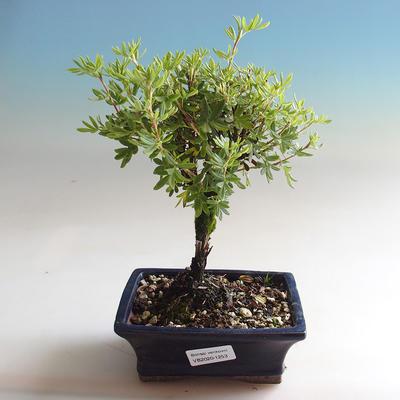 Outdoor Bonsai-Pięciornik - Dasiphora fruticosa żółty - 1