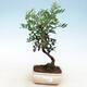 Pokojowe pistacje bonsai - 1/3