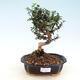 Bonsai do wnętrz - Olea europaea sylvestris - europejska oliwa drobnolistna - 1/5