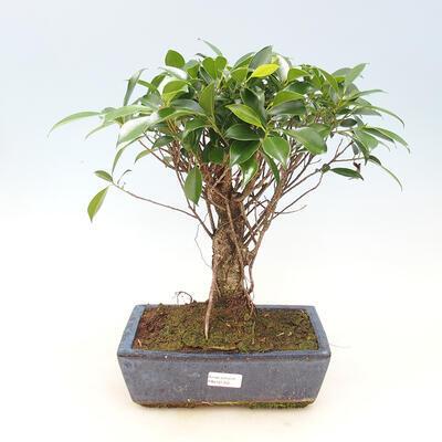 Kryty bonsai - kimono Ficus - figowiec drobnolistny