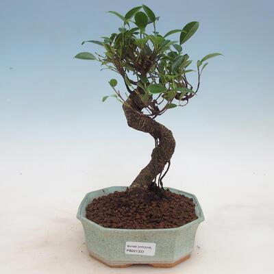 Kryty bonsai - Ficus retusa - ficus drobnolistny