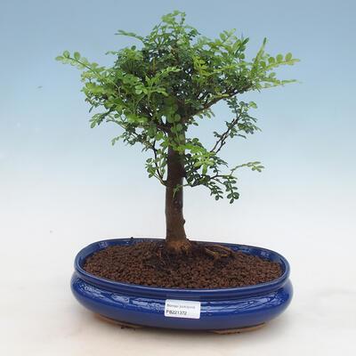 Kryty bonsai - Zantoxylum piperitum - drzewo pieprzowe PB2191297 - 1