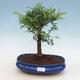 Kryty bonsai - Zantoxylum piperitum - drzewo pieprzowe PB2191297 - 1/4