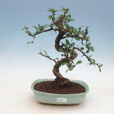 Kryty bonsai - Carmona macrophylla - Tea fuki - 1