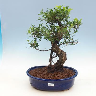Pokój-bonsai ficus Ficus retusa- malolistý - 1