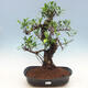 Pokój-bonsai ficus Ficus retusa- malolistý - 1/2