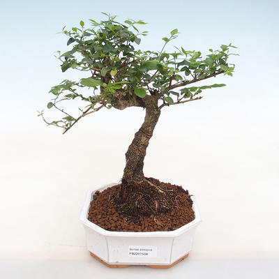 Kryty bonsai -Ligustrum chinensis - dziób ptaka - 1