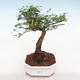 Kryty bonsai -Ligustrum chinensis - dziób ptaka - 1/3