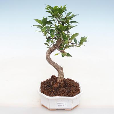 Kryty bonsai - Ficus retusa - ficus drobnolistny - 1