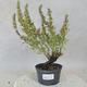 Outdoor bonsai - góra Satureja - Satureja montana - 1/5