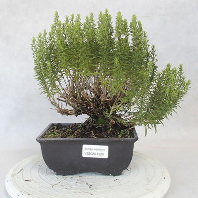 Outdoor bonsai - góra Satureja - Satureja montana - 1