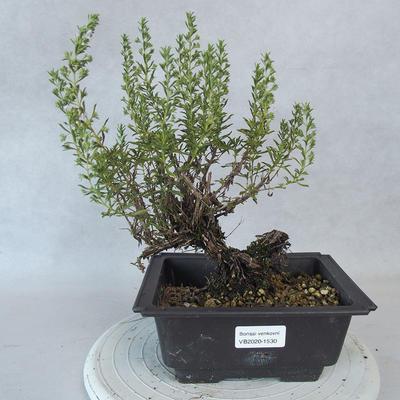Outdoor bonsai - góra Satureja - Satureja montana - 1