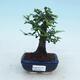 Bonsai do wnętrz - Ulmus parvifolia - Wiąz drobnolistny - 1/3