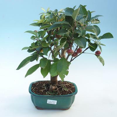 Outdoor bonsai - Malus halliana - jabłoń o małych owocach - 1