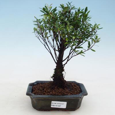 Kryty bonsai - Syzygium - Ziele angielskie - 1