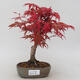 Outdoor bonsai - Klon palmatum DESHOJO - Klon japoński - 1/5