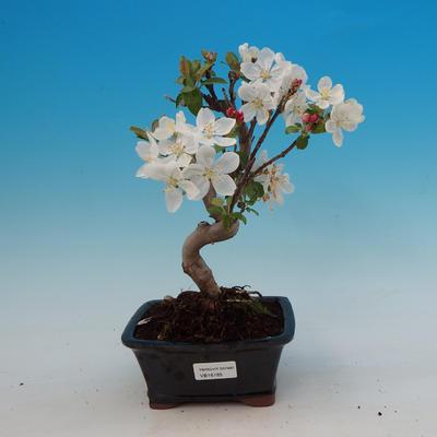 Outdoor bonsai - Malus Halliana - owocach jabłoni - 1