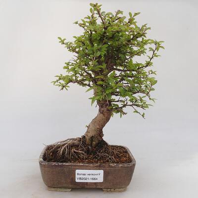 Outdoor bonsai - Zelkova - Zelkova NIRE - 1