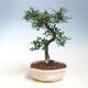 Kryte bonsai - Ulmus parvifolia - Mały wiąz - 1/3