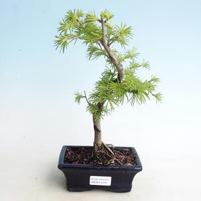 Outdoor bonsai -Pseudolarix amabis-Pamodřín - 1
