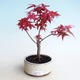 Outdoor bonsai - Maple palmatum DESHOJO - Maple palmate - 1/3