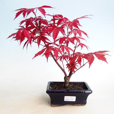 Outdoor bonsai - Acer palm. Atropurpureum-czerwony liść palmowy - 1
