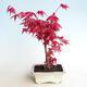 Outdoor bonsai - Acer palm. Atropurpureum-czerwony liść palmowy - 1/3