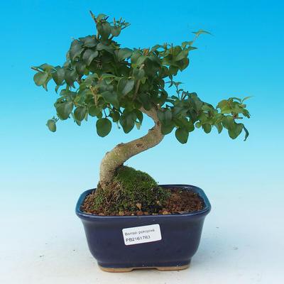 Pokój bonsai -Ligustrum chinensis - Ptasie oko - 1