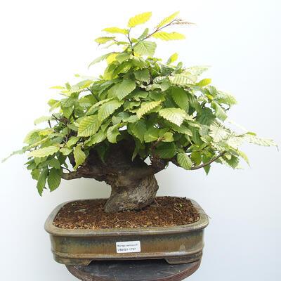 Bonsai ogrodowe - Grab - Carpinus betulus - 1