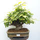 Bonsai ogrodowe - Grab - Carpinus betulus - 1/5