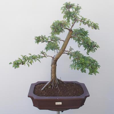 Bonsai na zewnątrz - Hawthorn - 1