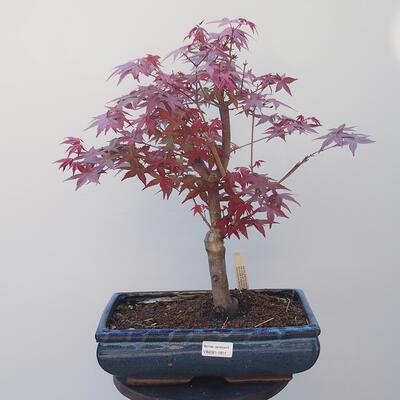 Bonsai zewnętrzne - Maple palmatum DESHOJO - Maple palm - 1