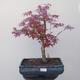 Bonsai zewnętrzne - Maple palmatum DESHOJO - Maple palm - 1/4