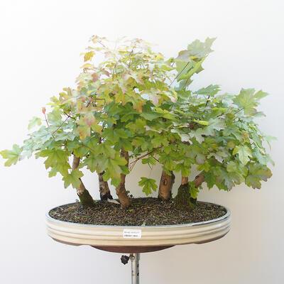 Acer campestre, acer platanoudes - Baby klon, klon - 1