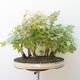 Acer campestre, acer platanoudes - Baby klon, klon - 1/4