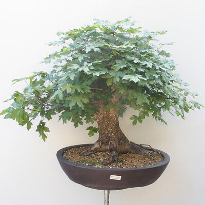Acer campestre - Baby Maple - 1