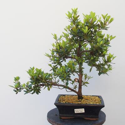 Bonsai zewnętrzne - Rhododendron sp. z o.o. - Różowa azalia - 1