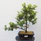 Bonsai zewnętrzne - Rhododendron sp. z o.o. - Różowa azalia - 1/4